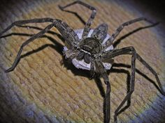 Huntsman spider and babies
