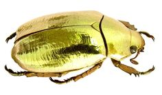 Supplies for your artworks - dried insects - :   One piece of the magnificent GOLDEN chrysina resplendens , rutelidae FREE SHIPPING by Alanscollectibles on Etsy
