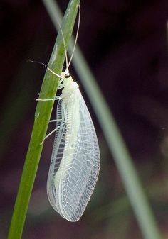 Green lacewings are insects in the large family Chrysopidae of the order Neuroptera. There are about 85 genera and (differing between sources) 1,300–2,000 species in this widespread group.