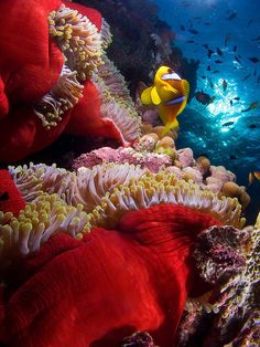 """""""Anemone City"""" photo by Juan Carlos Del Saz Candel, taken in the South Egyptian Red Sea. On one wall of the reef were a group of red anemones, each was home to several clownfish, the current was very strong, but at the same time it allowed lift """"skirts"""" of the anemone showing its colorful velvet."""