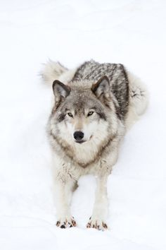 Timber wolf stretching out in the snow by Jim Cumming (Source: 500px.com)