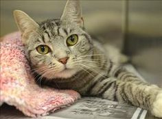 Chloe is an adoptable Tabby - Grey Cat in Charlottesville, VA.  Primary Color: Grey Tabby Secondary Color: White Weight: 10.375 Age: 2yrs 0mths 0wks  Animal has been Spayed...