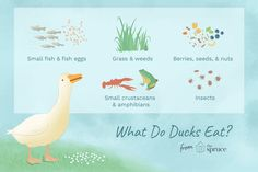 Farm ducks eat corn and specialized feed, but what do wild ducks eat? These birds have an interesting and varied diet. Backyard Ducks, Chickens Backyard, Ponds Backyard, What Ducks Eat, Best Pop Up Campers, Grass Weeds, Meat Farms, Duck Farming, Raising Ducks