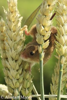Harvest Mouse Portrait (by Alastair Marsh Photography)