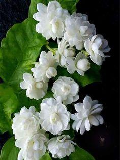 Beautiful Rose Flowers, Green Flowers, Amazing Flowers, White Flowers, Beautiful Flowers, Jasmine Plant, Indian Flowers, Blossom Garden, Belle Plante