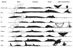 Identifying Whale species by blow, surfacing & diving