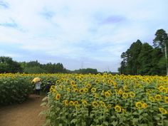 成田ゆめ牧場でひまわり迷路、バーベキューとホタル観賞