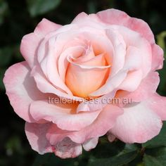 Sightsaver - HT, light pink, petals, rated (good) by ARS. Different Flowers, All Flowers, Exotic Flowers, Pretty Flowers, Purple Flowers, White Flowers, Rose Nursery, Ranunculus Flowers, Rose Perfume