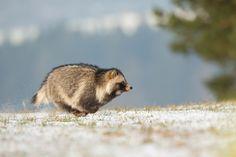 Raccoon Dog by Milan Zygmunt - Photo 96287873 - 500px