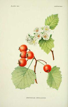 Crataegus arnoldiana (Aubepine)