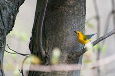 Pretty unusual to see a Prothonotary Warbler in our woods, but this one showed up today, and I thought I heard a second.