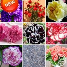 Cheap seeds flower seed, Buy Quality seeds flowers directly from China seeds flowers balcony Suppliers: Colors Carnation Seeds Balcony Potted Courtyard Garden Plants Dianthus Caryophyllus Flower Seeds, 200 Pcs, Home Garden Plants, Garden Pots, Potted Garden, Balcony Garden, Chinese Plants, Sweet Potato Plant, Dianthus Caryophyllus, Lucky Bamboo Plants, Indoor Flower Pots