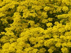 Basket-of-gold. This groundcover-like perennial is valued for its abundance of early spring flowers and ability to tolerate dry conditions.