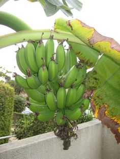 How to Grow Bananas – Essential Tips On Growing Banana Trees OH yes please. I would love to add this to my list of stuff to grow. Florida Landscaping, Florida Gardening, Tropical Landscaping, Tropical Garden, Banana Plants, Fruit Plants, Fruit Garden, Edible Garden, Grow Banana Tree