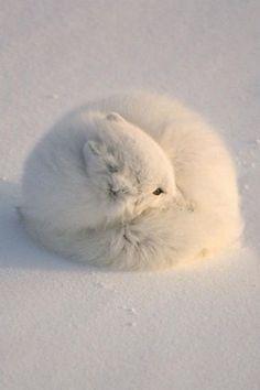 Sleepy Arctic Fox by John Pitcher