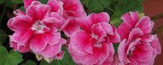 Florir em maio - Saiba quais são as plantas Ideais As plantas estão a florir em maio e o trabalho que tem vindo a ter nos últimos meses é agora recompensado pela amálgama de formas e cores que despertam no seu jardim. Aproveite o tempo para desfrutar das plantas que estão a florir em maiomas não desarme porque... - http://www.pisoecologico.com.br/ecoblog/2017/03/09/florir-em-maio/