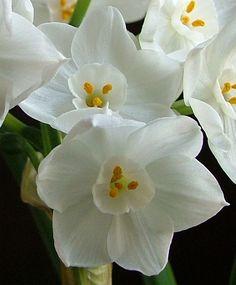Paperwhite narcissus, N. 'Ziva'