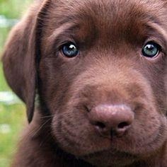 LABRADOR – Who can resist a lab puppy? ❤ Labrador Retriever look at those eyes Cute Puppies, Cute Dogs, Dogs And Puppies, Labrador Puppies, 15 Dogs, Brown Puppies, Fluffy Puppies, Silly Dogs, Corgi Puppies