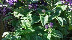 Heliotropo o vainilla de jardín