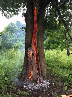 An oak tree burns after being hit by lightning.