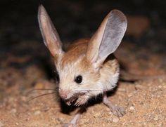 """El """"Mickey Mouse"""" del desierto: http://www.muyinteresante.es/naturaleza/preguntas-respuestas/que-animal-es-el-mickey-mouse-del-desierto #nature #naturaleza #Disney"""