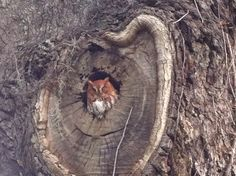 A tiny owl asleep in his tree hollow.