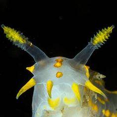 *Nudibranch - Polycera faeroensis