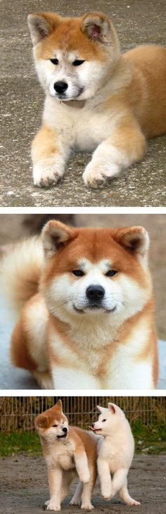 Akita, dogs from Japan