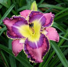 Daylily, Hemerocallis 'Asian Fairy Bluebird' (Lambertson, 2006)