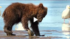 Now I know this may be a little far-fetched, but after watching this super cute, somewhat hilarious, and nothing less than entertaining video of a grizzly bear munching, you are going to want to hug one! Yes, you will!