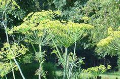 název:Kopr vonný (Anethum graveolens) čeleď:miříkovité (Apiaceae)