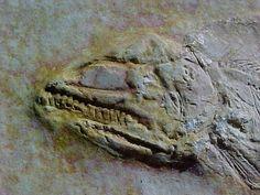 Solnhofen Fossil Fish.
