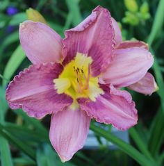 Daylily, Hemerocallis 'Chinese Temple Flower' (Munson, 1980)