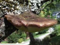 """Résultat de recherche d'images pour """"champignons des arbres"""""""