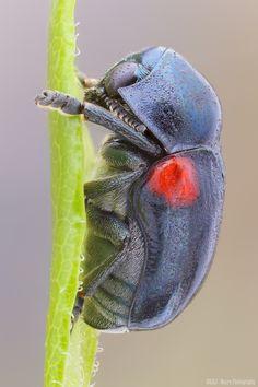 Saxinis sp. (Red-shouldered Leaf Beetle)