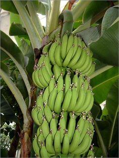 Dwarf Cavendish Banana 5 Seeds - Musa acuminata