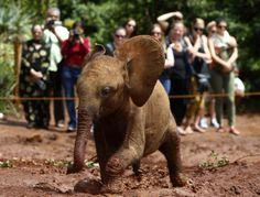 An orphaned baby elephant walks through mud as tourists take pictures at the David Sheldrick Wildlife Trust Nursery within Nairobi National Park, near Nairobi