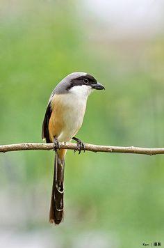 Long-tailed Shrike - photographer Ken Goh