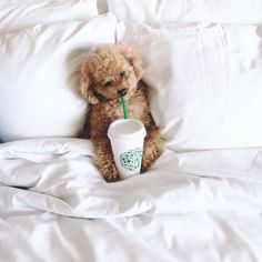 The Cutest Maltipoo Pictures Super Cute Puppies, Cute Baby Dogs, Cute Dogs And Puppies, Doggies, Goldendoodle, Yorkie, Colorful Animals, Cute Animals, Cutest Animals