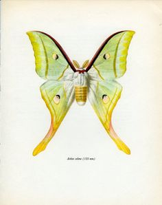 Indian Moon Moth, Vintage Moth Print, (75) Prochazka, 1966, Butterfly, Lepidoptera, Natural History, Frameable Art, Country Cottage Decor
