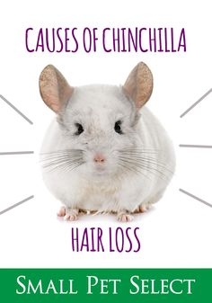 Hair is a striking feature of human body. Hair loss, especially by female/male pattern baldness is matter of great concern. Pattern baldness is particularly is very troubling condition. In this type of baldness the hair [. Chinchilla Fur, Going Bald, Male Pattern Baldness, Stop Hair Loss, Bald Heads, Pet Health, Human Body, The Selection, Pets