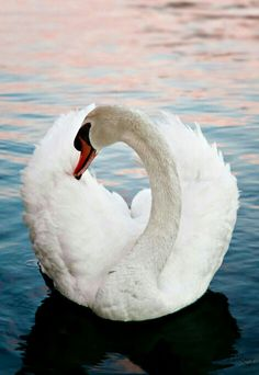 "There (are) moments we go through life impersonating the ""elegance"" of a swan . ""Beautiful feathers above the water, muddy paddling feet below the waters"". X mh Swan Love, Beautiful Swan, Beautiful Birds, Animals Beautiful, Cute Animals, Tier Fotos, All Birds, Big Bird, Pretty Birds"