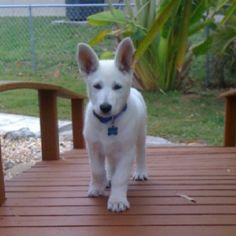 White American Shepard puppy.. I WANT THIS DOG!
