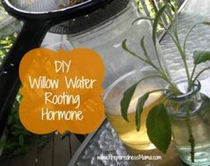 Make your own willow water, a natural rooting hormone used on cutting to help the rooting process go quicker. Learn the three ways to use willow water. Container Gardening, Gardening Tips, Kitchen Gardening, Vegetable Gardening, Diy Herb Garden, Garden Web, Edible Garden, Plant Cuttings, Diy Greenhouse