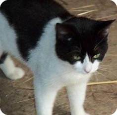 Pictures of Castoria a Domestic Shorthair for adoption in Salisbury, NC who needs a loving home.