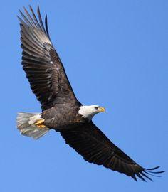 eagle photo gallery - Google Search