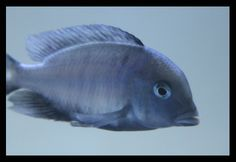Blue Dolphin Nice - Lake Malawi - African Cichlid