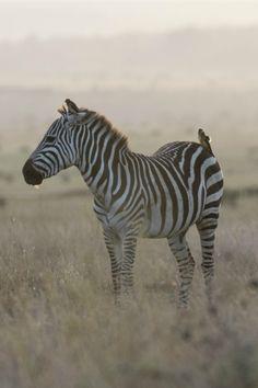 tulipnight:  Zebra-da-planície bydragoms