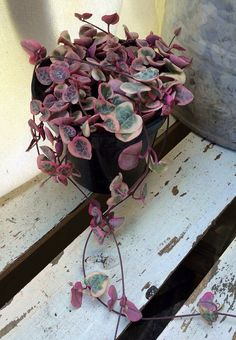 Pink String of Hearts Variegated Ceropegia by SucculentTreasures