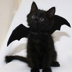 Only thing better than a bat is a bat cat 🙂 Das einzige, was besser ist als eine Fledermaus, ist eine Fledermauskatze :] I Love Cats, Crazy Cats, Cool Cats, Pretty Cats, Beautiful Cats, Kittens Cutest, Cats And Kittens, Black Cat Aesthetic, Baby Animals